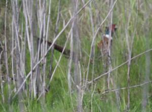 PheasantInBSRA